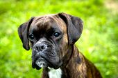 pic of bitch  - outdoor portrait of a female boxer dog a beautiful summer day - JPG