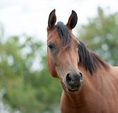 stock photo of arabian horse  - Bay young mare of Arabian horse portrait - JPG