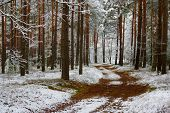 image of snow forest  - The photo shows pine forest in winter - JPG