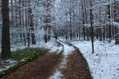picture of snow forest  - The photo shows pine forest in winter - JPG