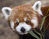 foto of panda  - close up portrait of a red panda making eye contact - JPG