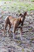 image of stray dog  - Thai Stray Dog , animal and pet