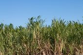 picture of sugar industry  - Sugar cane field in the Hawaiian island - JPG