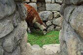 image of wonderful  - Llama in Machu Picchu a Peruvian Historical Sanctuary in 1981 and a UNESCO World Heritage Site in 1983 - JPG