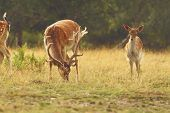 picture of buck  - fallow deer buck  - JPG
