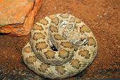 picture of terrarium  - western rattlesnake basking in terrarium  - JPG