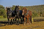 stock photo of horse plowing  - A team of three horses are pulling a plow as wheat stubble is being turned over in the early autum colors  - JPG