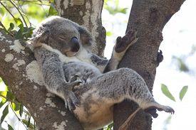 pic of eucalyptus trees  - Koala relaxing in a tree - JPG