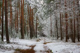 pic of pine-needle  - The photo shows pine forest in winter - JPG