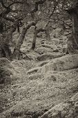 image of contortion  - Image of pathways through old twisted gnarly trees and moss covered rocks in a toned black and white