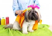 foto of barbershop  - Hairdresser towel Shih Tzu dog in barbershop - JPG