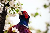 stock photo of pheasant  - pheasant sitting in the branches of a flowering cherry tree - JPG