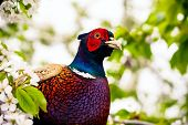 foto of pheasant  - pheasant sitting in the branches of a flowering cherry tree - JPG