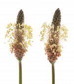 stock photo of ribwort  - Ribwort plantain flowers isolated on white background - JPG