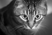 foto of tabby cat  - Tabby cat portrait sitting looking black and white photo - JPG