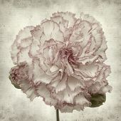 pic of carnation  - textured old paper background with variegated carnation flower - JPG