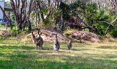 picture of kangaroo  - Kangaroo - JPG