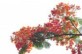 pic of royal botanic gardens  - Royal Poinciana isolated on white background in garden - JPG
