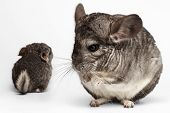 stock photo of hetero  - Closeup Mama and Baby Chinchilla in Front View on white Background - JPG