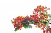 image of royal botanic gardens  - Royal Poinciana isolated on white background in garden - JPG