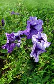 picture of petunia  - Lilac flowers Petunia in a garden in summer season - JPG