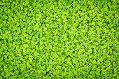 pic of clover  - Green clover background - JPG