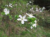 foto of vegetation  - blackthorn blossom during vegetation in nature useful as a background - JPG