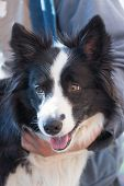 foto of collie  - Portrait of Border collie which is ready for grooming - JPG