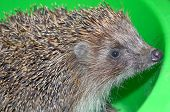 picture of mammal  - Ordinary hedgehog on a green background - JPG