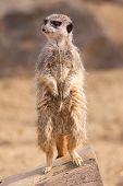 stock photo of meerkats  - photo of an alert meerkat standing on a log - JPG