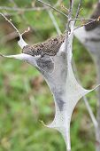 stock photo of tent  - The Eastern Tent Caterpillar  - JPG