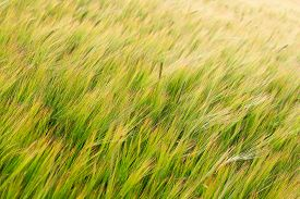 stock photo of track field  - Green field of Barley crop seed growing in rural England with track lines - JPG