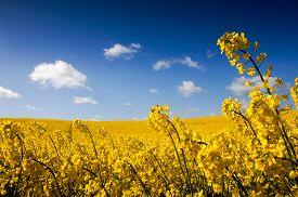 image of rape-field  - Yellow Canola field Rape field - JPG