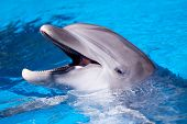 stock photo of dolphin  - Beautiful dolphin swimming in the blue water - JPG