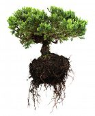 stock photo of bonsai  - Bonsai tree - JPG