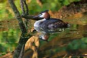 picture of great crested grebe  - A great crested grebe near the river Ruhr in Muelheim - JPG
