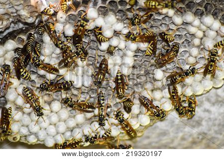 Wasp Nest With Wasps Sitting