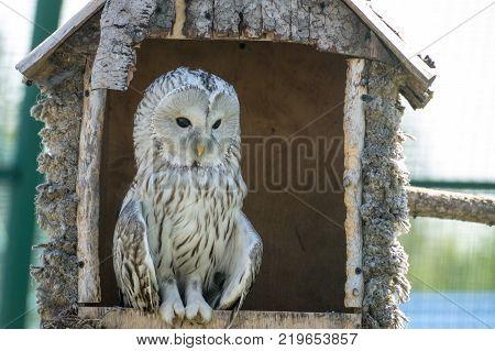 White owl sits