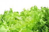 foto of escarole  - an escarole endive on a white background - JPG
