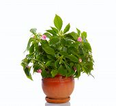 foto of fulcrum  - blooming plant with pink flowers in ceramic pot isolated - JPG