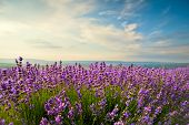 foto of lavender field  - The bright blue skies and purple lavender field - JPG
