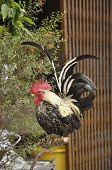 image of banty  - Bantam is very tame - JPG