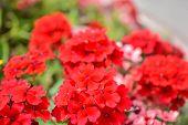 Red Pelargonium Or Geranium Flower In Summer Garden. Red Geranium Flowers On Blurred Background. Bri poster