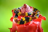 Costa Rican Coral Snake Common Snake Distributed From The East And Southeastern Caribbean In Nicarag poster