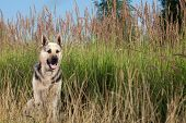 picture of alsatian  - Alsatian dog at field - JPG
