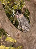 Texas Heeler sitting high up in a tree, an obedient dog having fun on a hot summer day poster