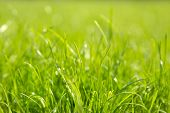 Green Juicy Grass Close-up. Background Of Green Young Grass. Green Grass Background. poster