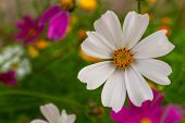 Beautiful White Cosmos Flower In Nature, Sweet Background, Blurry Flower Background, White And Deep  poster