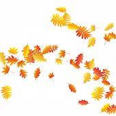 Oak, Maple, Wild Ash Rowan Leaves Vector, Autumn Foliage On White Background. Red Orange Gold Sorbus poster