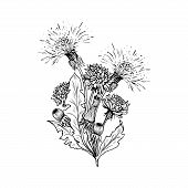 Flowering Dandelion Freehand Vector Bouqet Illustrations. Spring Honey Plant, Hand Drawn Wildflower  poster